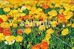 [3月] 春のポピー畑